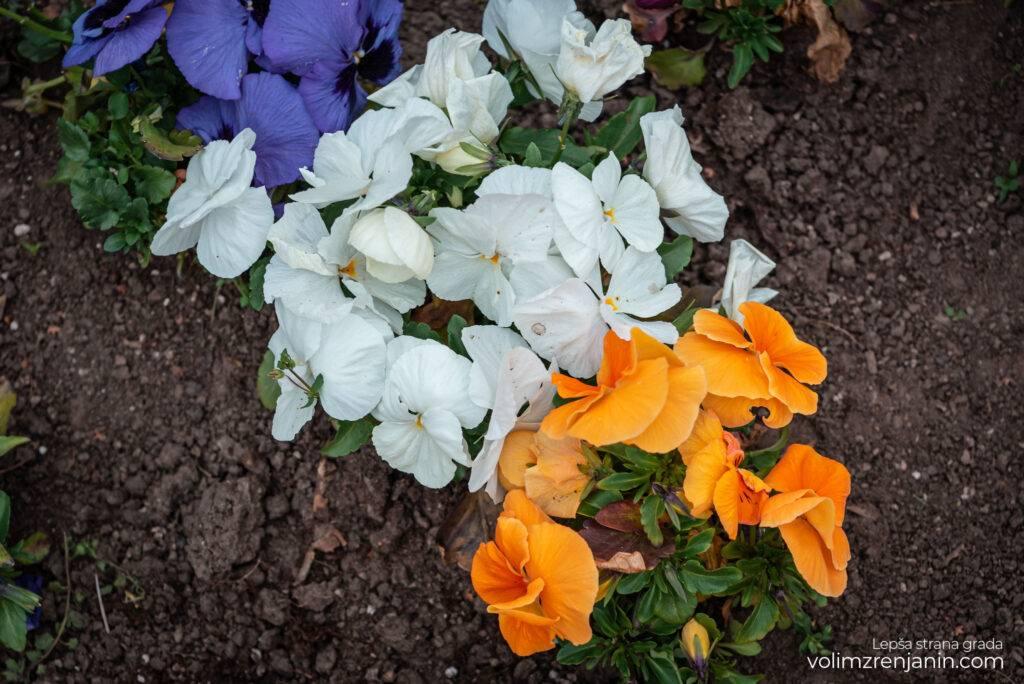 cvetne sadnice jkpcistocazrenjanin 002a