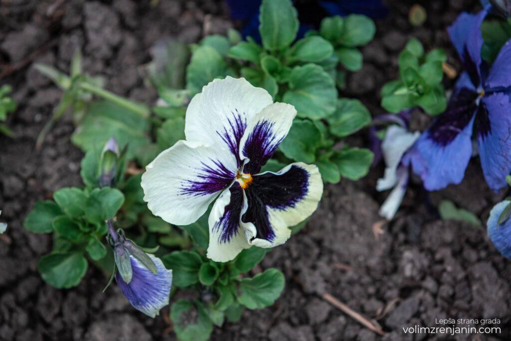 cvetne sadnice jkpcistocazrenjanin 008