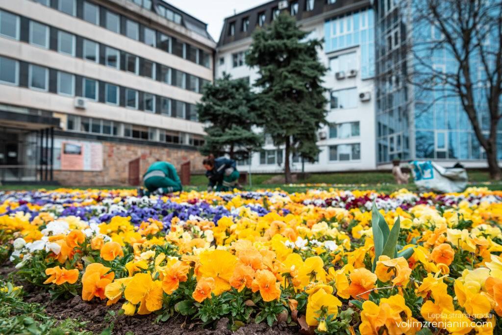 cvetne sadnice jkpcistocazrenjanin 016