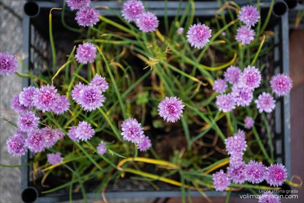 cvetna pijaca dron zrenjanin 023